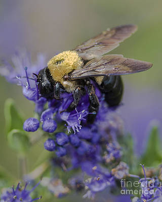 Photograph - Carpenter Bee by Ronald Lutz
