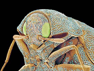Photograph - Carpet Beetle Sem by Susumu Nishinaga