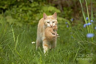 Pet Care Photograph - Cat Carrying Kitten by Jean-Michel Labat
