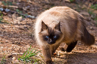 Photograph - Cat Walking by Melinda Fawver