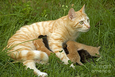 Pet Care Photograph - Cat With Kittens by Jean-Michel Labat