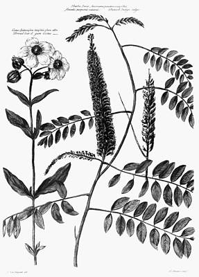 Catalogus Plantarum, 1730 Print by Granger