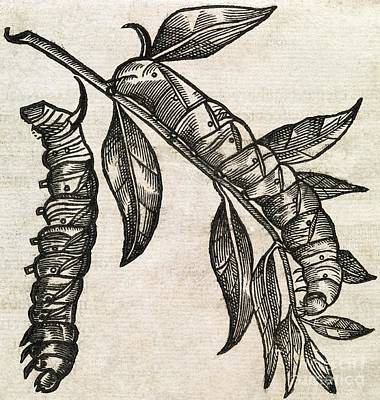 Caterpillars, 17th Century Artwork Art Print by Middle Temple Library