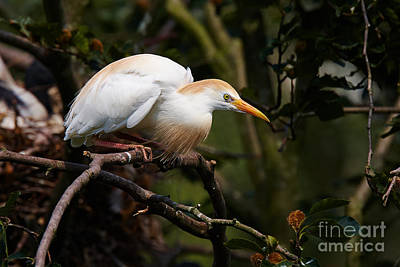 Animals Royalty-Free and Rights-Managed Images - Cattle egret in a tree by Nick  Biemans