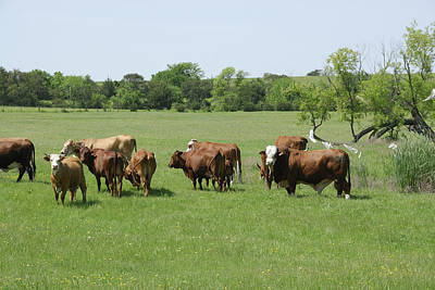 Photograph - Cattle Grazing by Charles Beeler