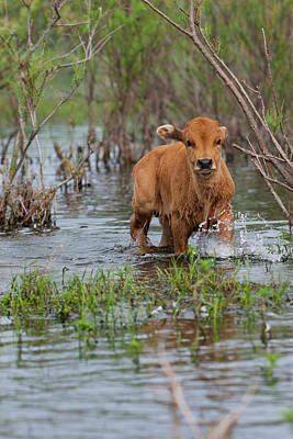 Cattle In The Flooded Danube Delta Art Print by Martin Zwick
