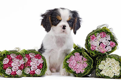Photograph - Cavalier King Charles Spaniel Pup by Jean-Michel Labat