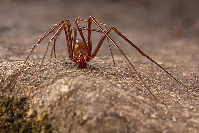 Photograph - Cave Spider by Francesco Tomasinelli