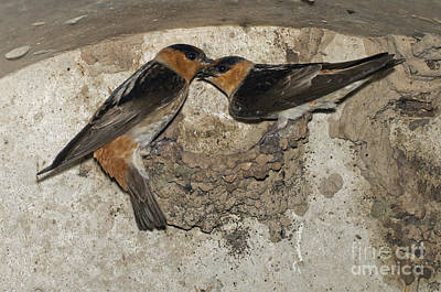 Swallow Photograph - Cave Swallows by Anthony Mercieca