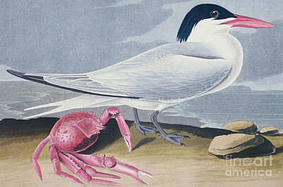 Drawing - Cayenne Tern by Celestial Images