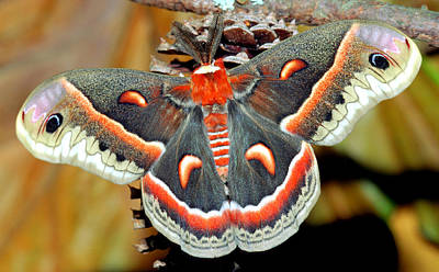Photograph - Cecropia Moth Hyalophora Cecropia by Millard H Sharp