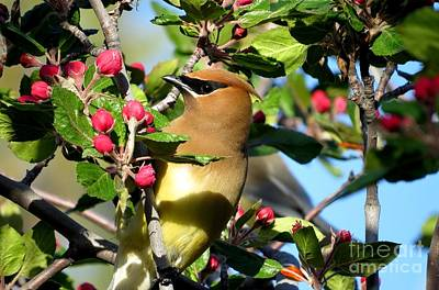 Photograph - Cedar Wax Wing by Michele Penner