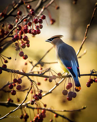 Kids Cartoons - Cedar Waxwing by Bob Orsillo