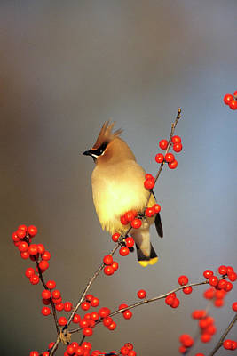 Susan Photograph - Cedar Waxwing (bombycilla Cedrorum by Richard and Susan Day