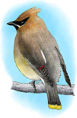 Photograph - Cedar Waxwing by Roger Hall