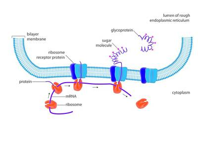 Synthesis Photograph - Cellular Protein Synthesis by Science Photo Library