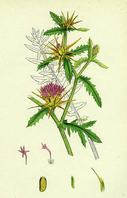 Thistle Drawing - Centaurea Calcitrapa Star-thistle by English School