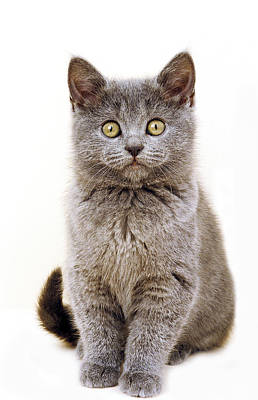 Chartreux Wall Art - Photograph - Chartreux by Gerard Lacz