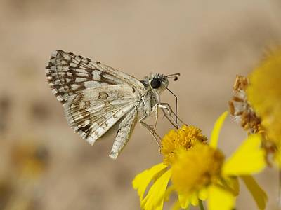 Photograph - Checkered Skipper by Billy  Griffis Jr