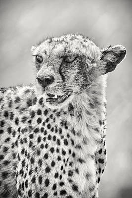 Photograph - Cheetah by Adam Romanowicz