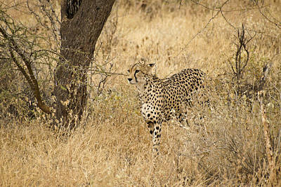 Photograph - Cheetah On The Prowl by Michele Burgess