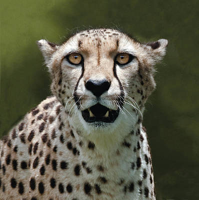 Photograph - Cheetah Portrait by William Bitman