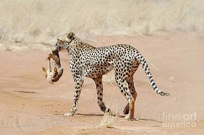 Cheetah With A Rabbit Print by PhotoStock-Israel