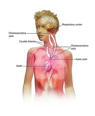 Woman Torso Photograph - Chemoreceptors In Respiration by Mikkel Juul Jensen
