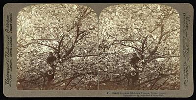 Tokyo Drawing - Cherry-bloom At Ishikawa Temple, Tokyo, Japan by Litz Collection