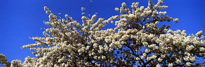 Cherry Blossoms Photograph - Cherry Blossom In St. Jamess Park, City by Panoramic Images