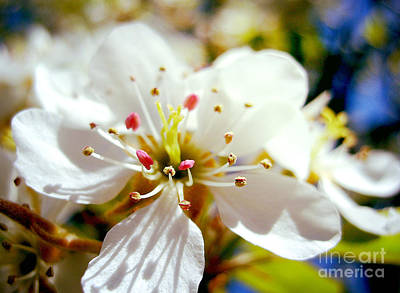 Photograph - Cherry Blossom by Nina Ficur Feenan