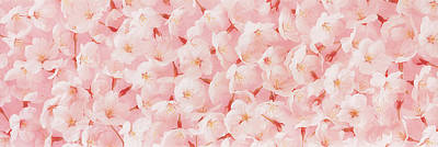 Numerous Photograph - Cherry Blossom by Panoramic Images