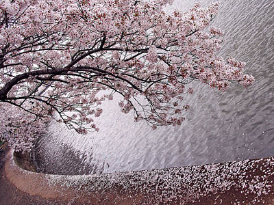 Photograph - Cherry Blossoms by Cora Wandel