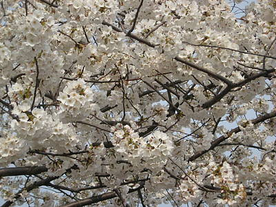 Cherry Blossoms Art Print by DustyFootPhotography