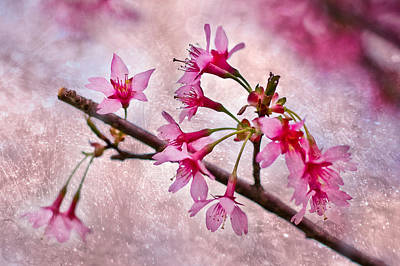 Photograph - Cherry Blossoms by Elvira Pinkhas
