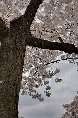 Japanese Photograph - Cherry Blossoms - Washington Dc - 011340 by DC Photographer