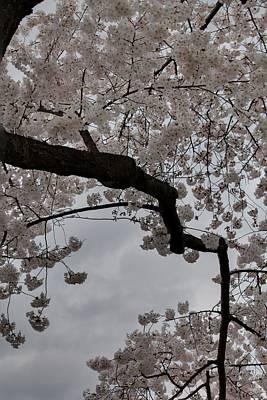 Decor Photograph - Cherry Blossoms - Washington Dc - 011341 by DC Photographer