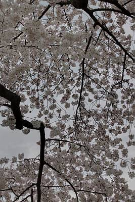 Cherry Blossoms - Washington Dc - 011342 Art Print by DC Photographer