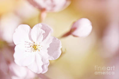 Cherry Tree Blossom Art Print