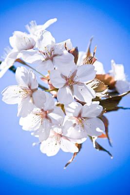 Cherry Tree Blossoms Close Up Art Print