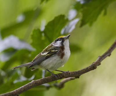 Photograph - Chesnutsided Warbler by Doug Lloyd