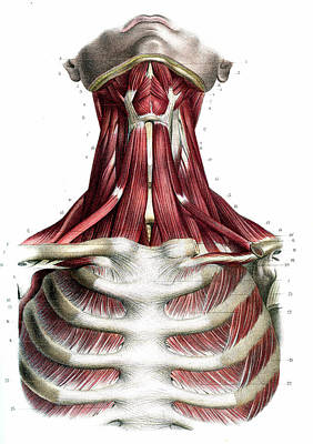 Cage Photograph - Chest And Neck Muscles by Collection Abecasis