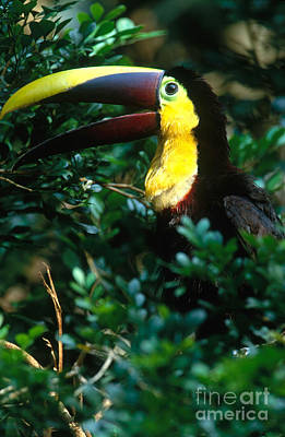Chestnut-mandibled Toucan Art Print by Art Wolfe