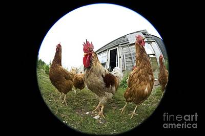 Chickens Art Print by Georgette Douwma