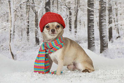 Dog In Snow Photograph - Chihuahua In Winter by John Daniels