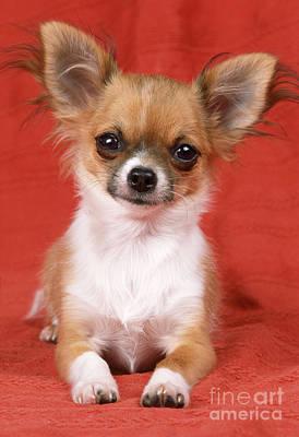 Photograph - Chihuahua by John Daniels