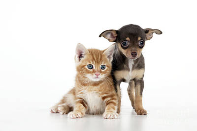 Chihuahua Puppy And Kitten Art Print