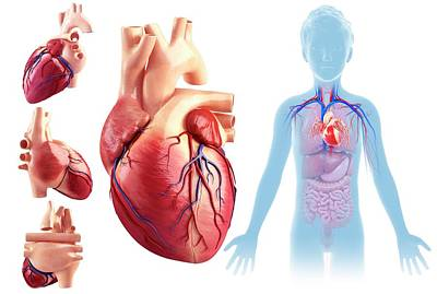 Child's Heart Anatomy Art Print by Pixologicstudio/science Photo Library