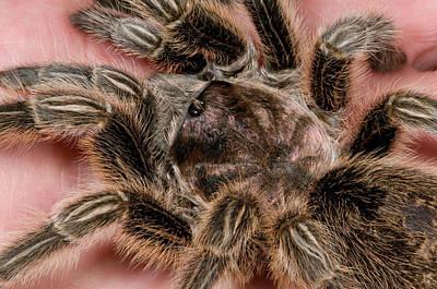 Tarantula Photograph - Chilean Rose Tarantula Close-up by Nigel Downer