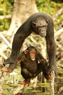 Chimpanzee Adult With Young Art Print by Jean-Michel Labat
